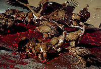 """April 1985, outside Lhasa, Tibet Autonomous Region, China --- Vultures assist in the Tibetan custom of """"sky burial"""" in which the deceased offer their bodies, dismembered by Tibetan <domdens,> to earn merit through consumption by living beings. --- Image by © Owen Franken/CORBIS"""