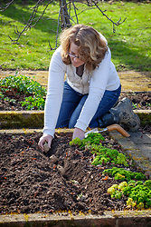 Planting out early potatoes in a trench in the vegetable garden
