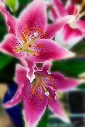 Pink, Lily, Yellow, Center, Burnt, Orange, pistols, unique, close up, Love, bloom, blooming, blooms, blossom, color, flora, flower, flowering, flowers, nature