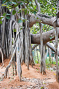 "THIMMAMMA MARRIMANU, INDIA - 29th October 2019 - Thimmamma Marrimanu - the world's largest single tree canopy. With more than 4000 roots, the banyan tree (Ficus benghalensis) was first added to the Guinness Book of World Records in 1989 (its entry updated in 2017) as being 550 years old and having the ""greatest perimeter length for a tree"", spreading over five acres with a circumference of 846m. Andhra Pradesh, South India."