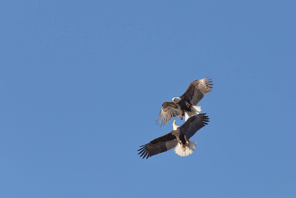 Fighting bald eagles in the air.