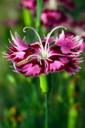 06 May 2007: Macro shots from backyard, flower