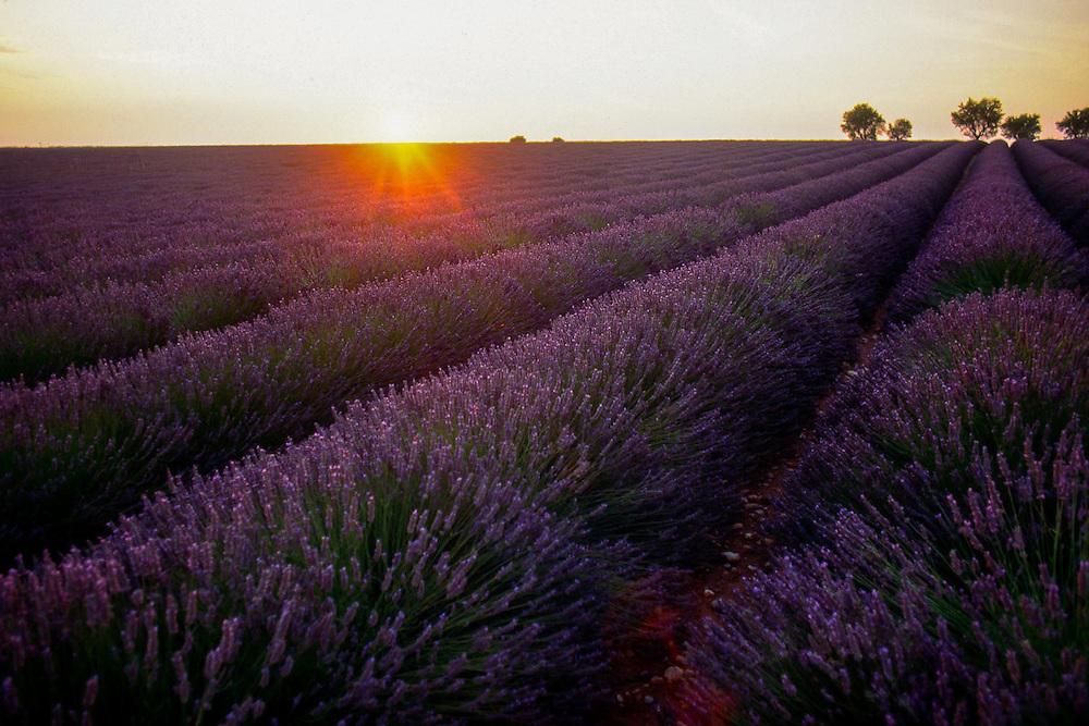 Lavendar, Provence, France