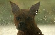 Deutschland, DEU, Berlin, 2002: Ein Hund wartet hinter einer dreckigen Scheibe darauf, dass er an einen neuen Besitzer vermittelt wird. Das Berliner Tierheim ist das groesste und modernste auf der Welt. |