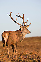 Red Deer stands looking back UK