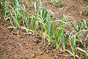 Garlic plants growing in allotment garden, Shottisham, Suffolk, England