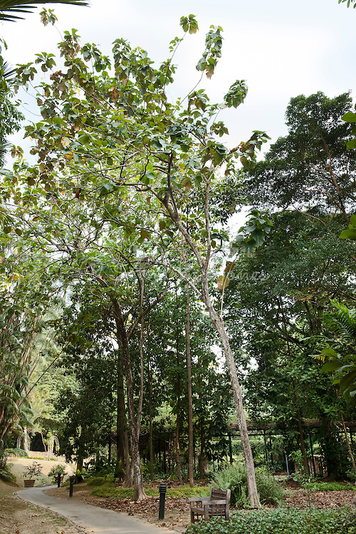 Tectona grandis (Teak) tree. Singapore Botanic Garden, Singapore.
