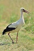White Stork (Ciconia ciconia) | Weißstorch (Ciconia ciconia)