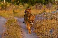 Female lions walking in the bush after sunset, Linyanti Marshes, Botswana.
