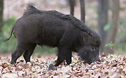 Wild pig (Sus scrofa) feeding on fallen fruits among dry leaves in Kanha National Park, India.
