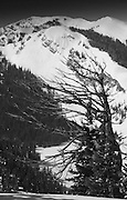 A Whitebark Pine stands sentry against the ages high up in the Tetons