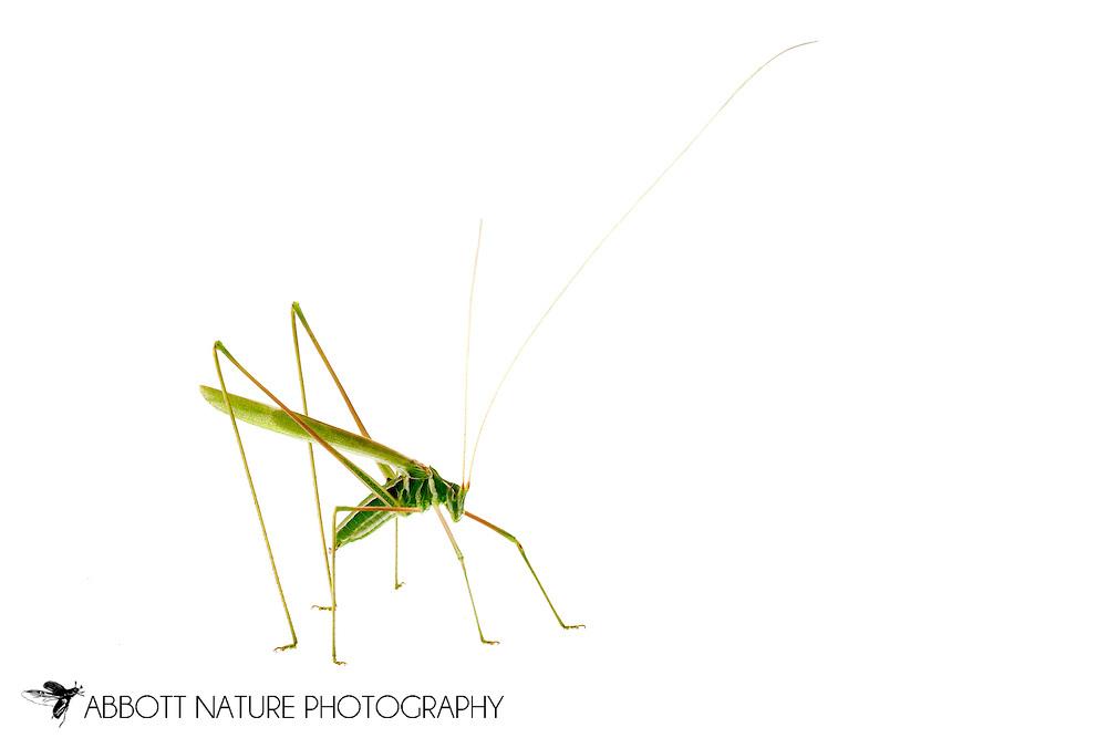 Thin-footed Thread-leg Katydid (Arethaea sp.)<br /> TEXAS: Edwards County<br /> off C.R. 24; Camp Wood, 6 km NW<br /> 29-May-2012<br /> J.C. Abbott &amp; K.K. Abbott