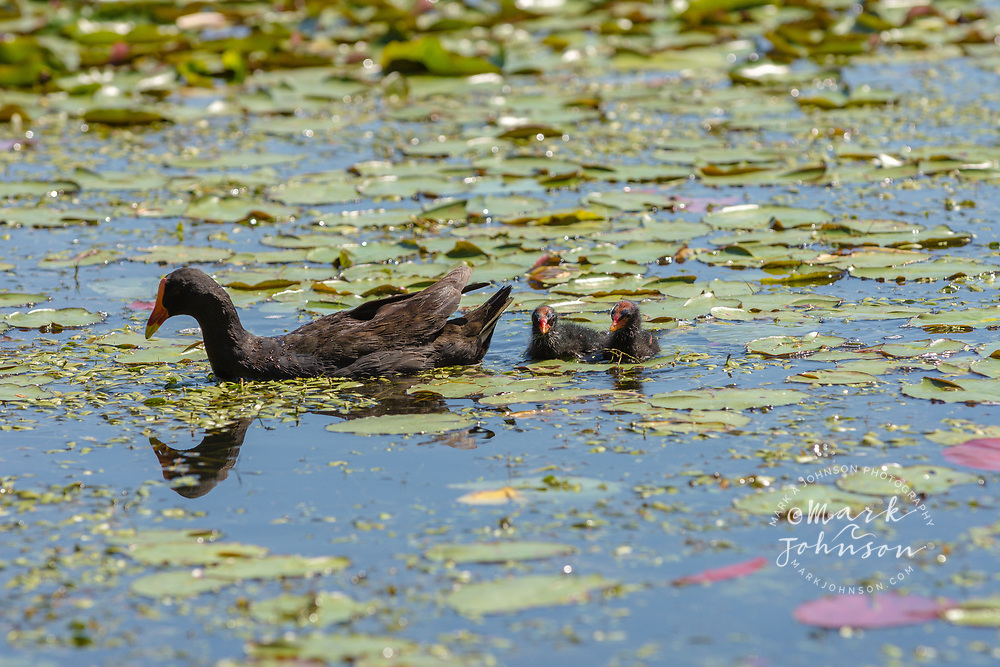 Dusky Moorhen with chicks, (Gallinula tenebrosa), The Lakes, UQ, Brisbane, Queensland, Australia