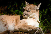 A cougar lies in the sun to snooze.
