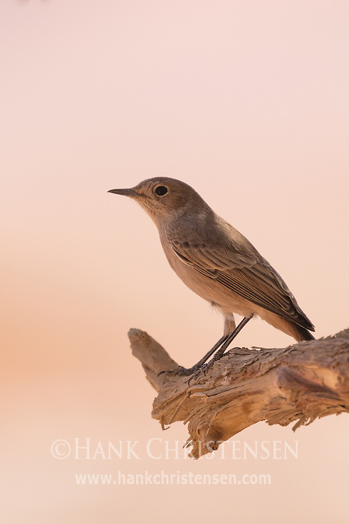 A familiar chat perches on a tree branch, Namib-Naukluft National Park, Namibia.
