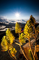 A Dubautia Menziesii plant grows on the flanks of the Haleakala Crater in Maui, Hawaii.