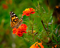 Painted Lady butterfly feeding on a Marigold flower. Image taken with a Fuji X-T2 camera and 100-400 mm OIS lens