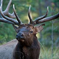 bull elk rutting