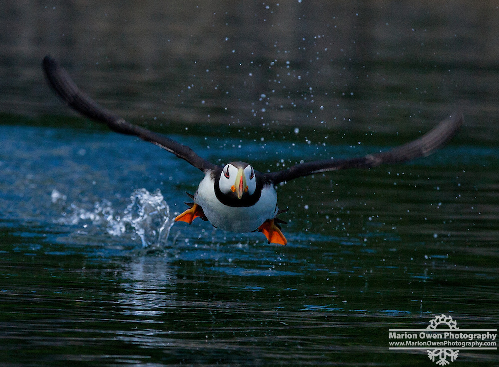 Horned puffin takes off, head on