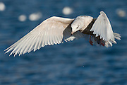 The Herring Gull, Larus argentatus, is a large gull (up to 26 inches or 66 cm long), and is the most abundant and best known of all gulls along the shores of Asia, western Europe, and North America.[1]  It breeds across North America, Europe and Asia..www.gyda.is