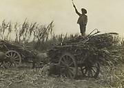 Liggende karbouw bij de oogst van suikerriet, vermoedlijk op Oost-Java