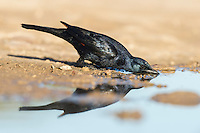 Male red-winged starling drinking water, De Hoop Nature Reserve, Western Cape, South Africa