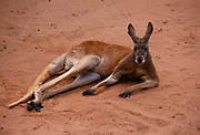 Big Red Kangaroo (captive) <br />