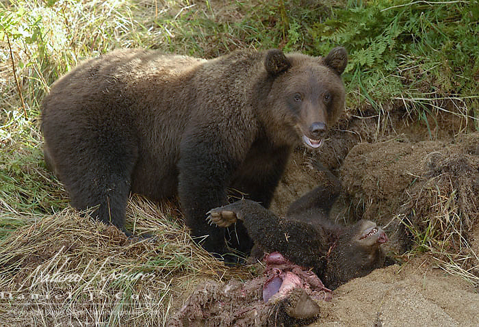 Alaskan Brown Bear (Ursus middendorffi) Female adult and her three year old sub-adult cub, kills and feeds on another bears spring cub. Katmai National Park. Alaska. Early summer.