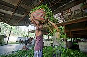 Tea Garden Weat Bengal India -  Women and Tea