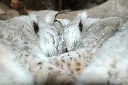 Dierenpark Amersfoort in de winter.<br /> <br /> Op de foto: De Euraziatische lynx