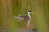 Western Grebe out for a swim with two young chicks.