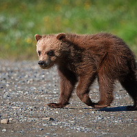 Spring Grizzly Bear (Ursus arctos horribilis) Cub, Thorofare Pass, Denali National Park, AK