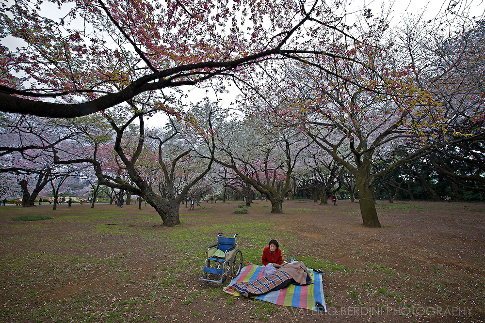 A woman and her ill husband, fully covered by blankets, rest under the cherry trees in full bloom (Sakura) inside Shinjuku Gyoen National Garden in Tokyo. Japan 2013