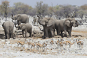 African Elephant <br /> Loxodonta africana<br /> At waterhole with springbok<br /> Etosha National Park, Namibia