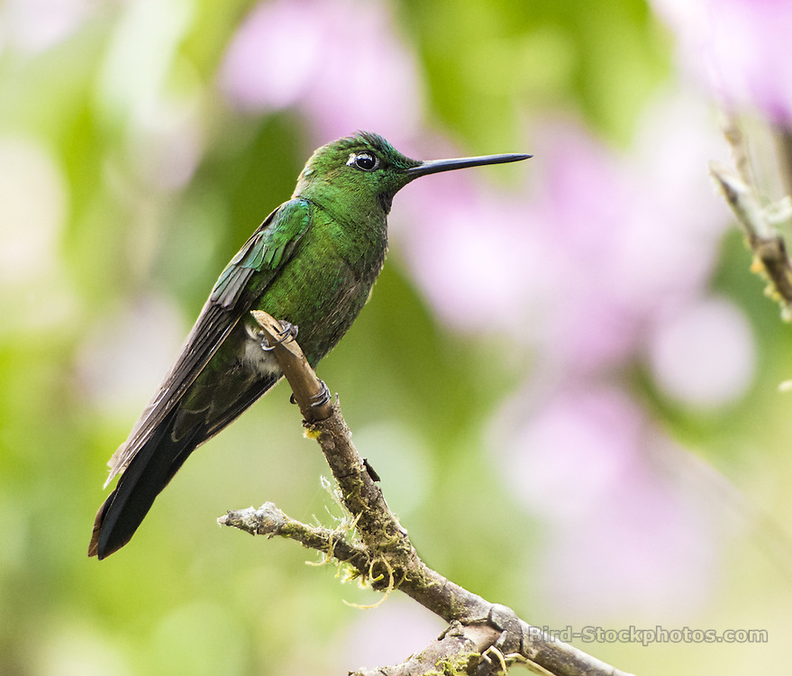 Green-crowned Brilliant, Heliodoxa jacula, Ecuador, by Owen Deutsch