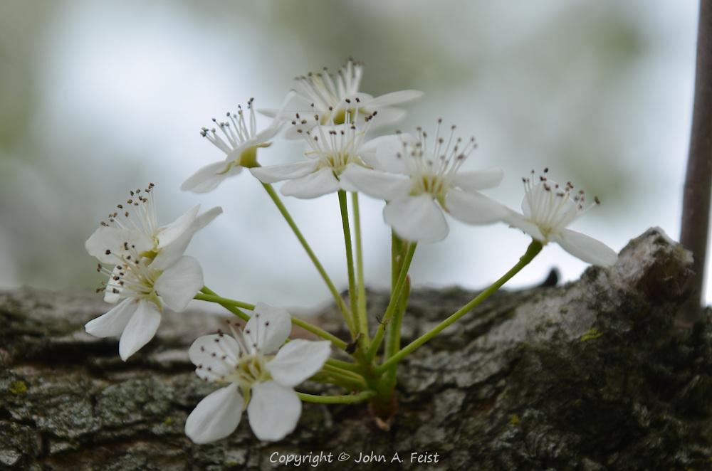 A closeup of a new bunch of dogwood flowers.  Hillsborough, NJ