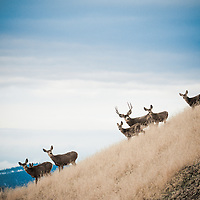 mule deer buck with does on a ridge in tall grass with blue sky