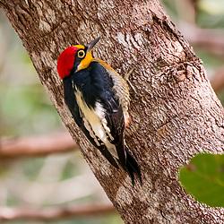"""""""Benedito-de-testa-amarela (Melanerpes flavifrons) fotografado em Linhares, Espírito Santo -  Sudeste do Brasil. Bioma Mata Atlântica. Registro feito em 2013.<br /> <br /> <br /> <br /> ENGLISH: Yellow-fronted Woodpecker photographed in Linhares, Espírito Santo - Southeast of Brazil. Atlantic Forest Biome. Picture made in 2013."""""""