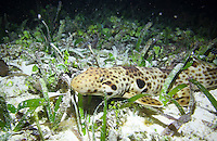 Nocturnal epaulette shark (Hemiscyillum freycineti) in shallow reef in the Raja Ampat islands. <br />