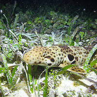 Nocturnal epaulette shark (Hemiscyillum freycineti) in shallow reef in the Raja Ampat islands. <br /> <br /> This species of walking shark was only discovered around 2006.
