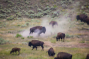 Bison, or American buffalo, near the Yellowstone River, between Tower Junction and Lamar Valley, Yellowstone National Park, Wyoming. There's around 3,700 bison the park, of the Plains Bison subspecies. Yellowstone may be the only place where bison have not been hunted out of existence,  although the population plummeted due to poaching at the turn of the 20th century.   The population is still under threat - when they roam outside the park boundaries, and from claims that they transmit disease such as brucellosis to  cattle. Copyright Dave Walsh 2014.