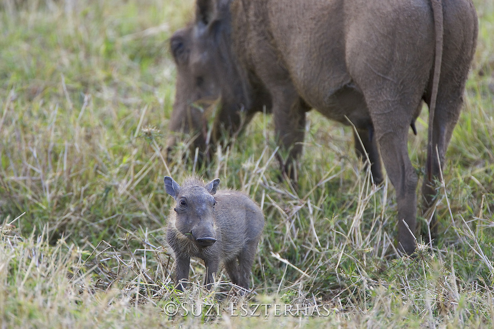 AFRICAN WART HOG <br /> Phacochoerus aethiopicus<br /> Young piglet<br /> Masai Mara Reserve, Kenya