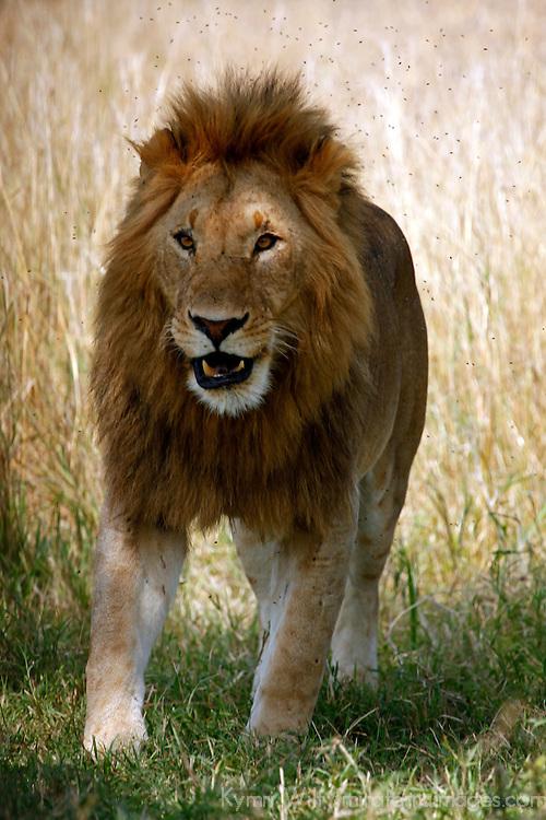 Africa, Kenya, Maasai Mara. A male lion in the Mara complains to the female.