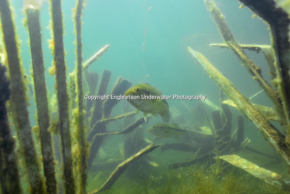 Largemouth Bass utilizing Fish Hiding Fish Attractors
