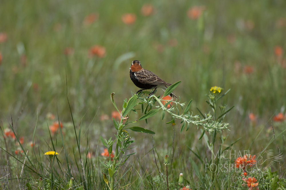 Bowdoin National Wildlife Refuge, Phillips County, Glaciated Plains, Montana<br /> <br /> Chestnut collared longspur perched above prairie wildflower bloom