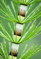 Riesen-Schachtelhalm; Equisetum telmateia; Poloniny Nationalpark, Slowakei, Europa / Great Horsetail, Equisetum telmateia, Poloniny Nationalpark, Western Carpathians, Eastern Slovakia, Europe