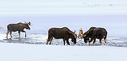 Three Bull Moose Spar in Winter River