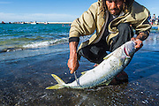 Cleaning and filleting a Yellowtail at the harbour, Struisbaai Harbour, Struisbaai, Western Cape, South Africa
