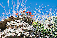 This incredibly beautiful (and red!) mound or hedgehog cactus is a rather common sight in the Guadalupe Mountains. In several parts of the range I saw dozens if not dozens of dozens all in bloom. That vivid bright red color made them easy to spot from a distance!