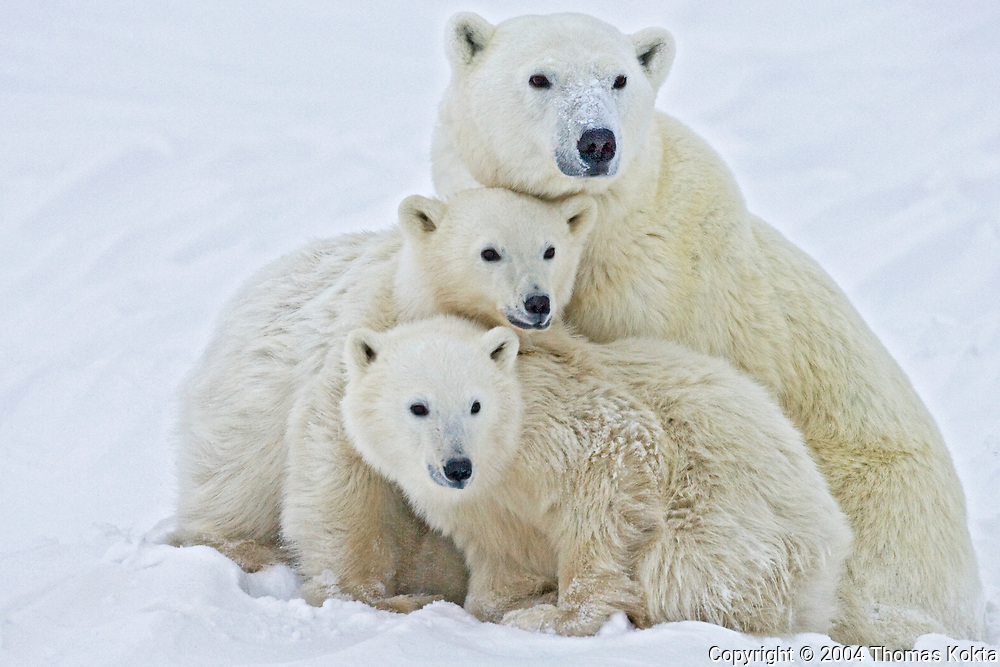 Triple Polar Bears, Churchill